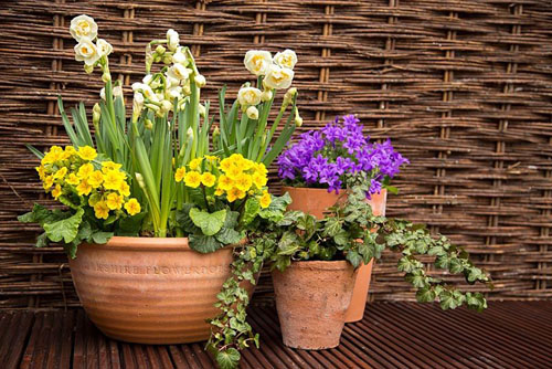 Container consisting of Narcissus 'Bridal Crown' and Primula veris - © GAP Photos