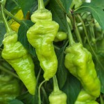 Chilli pepper 'Monkey Face' bears green, wrinkled chillies.