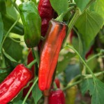 Capiscum annuum 'Peperone Frigitello' bears medium sized, early chillies - green maturing to red, sweet and thick fleshed with medium heat. Originating from Italy.