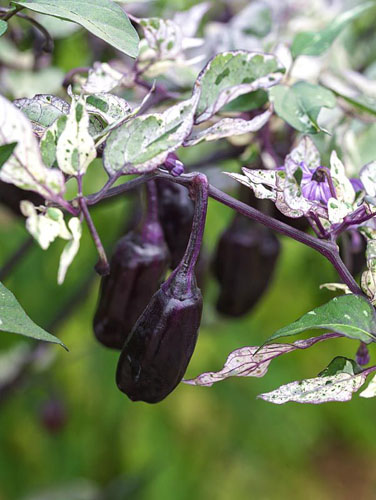 Capiscum annuum 'Tri-Fetti' bears lots of small purple chillies that ripen to red. Hot. Variegated leaves make this popular as an ornamental plant.