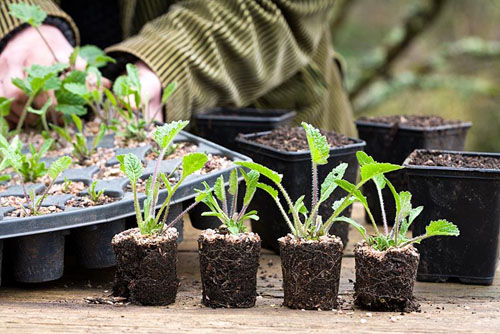 Potting on Crambe cordifolia root cuttings. Plugs ready to pot on - © Jonathan Buckley/GAP Photos