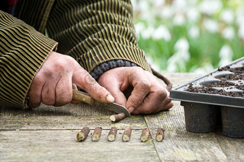 Taking Crambe cordifolia root cuttings. Cutting root into sections - © Jonathan Buckley/GAP Photos