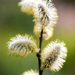 Salix caprea. The fluffy male catkins are yellow with pollen