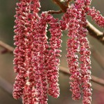 Corylus maxima 'Purpurea' close-up of catkins in february