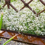 White clouds of Gypsophila repens 'Alba' between wrought iron fence and a corten steel water rill
