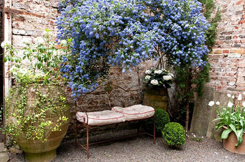 Ceanothus 'Concha' arches over a garden seat in a courtyard - © Jacqui Hurst/GAP Photos