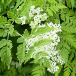 Myrrhis odorata - sweet cicely. Goltho Gardens, Goltho, Lincolnshire, UK. Spring, May 2015