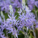 Camassia leichtlinii. Goltho Gardens, Goltho, Lincolnshire, UK. Spring, May 2015.