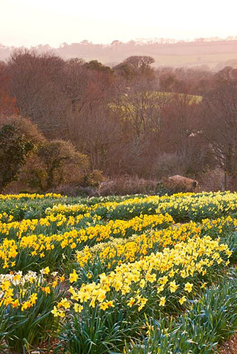 Daffodils growing in the trial field. R. A. Scamp, Quality Daffodils, Cornwall