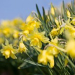 Narcissus 'Sulphur Phoenix'. R. A. Scamp, Quality Daffodils, Cornwall