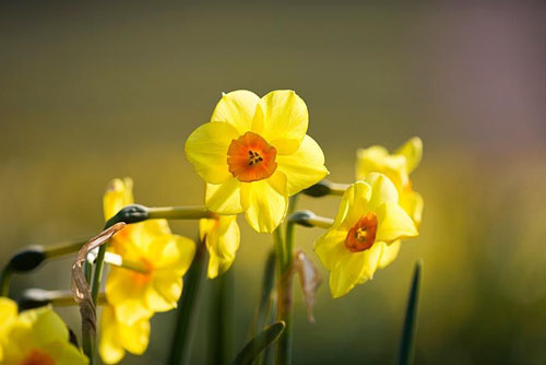 Narcissus 'Dan du Plessis'. Credit: R. A. Scamp, Quality Daffodils, Cornwall