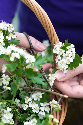 All white posie step by step in May: Taking a cutting from a hawthorn branch - © Nicola Stocken/GAP Photos