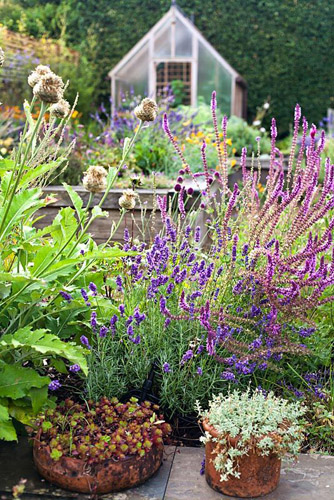 Raised beds behind sunken patio planted with perennials and herbs at The Coach House. Pots of succulents and grasses. Allium sphaerocephalon, Centaurea 'Pulchra Major' or Stemmacantha centauroides, Salvia nemorosa 'Sensation Rose', Lavandula 'Hidcote', Cynara cardunculus, Stachys byzantina - © Robert Mabic/GAP Photos