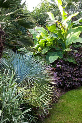 Border of tropical plants - Chamaerops humilis var cerifera in the middle, and Musa basjoo behind - Beechwell House, Bristol - © Lynn Keddie/GAP Photos