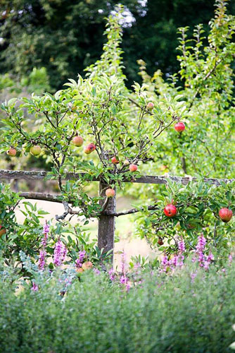 Malus trained against wooden frame alongside border in September - Parham, West Sussex - © Abigail Rex/GAP Photos
