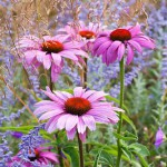 Echinacea - Coneflower - with Perovskia. Bay Tree House garden, Hampshire