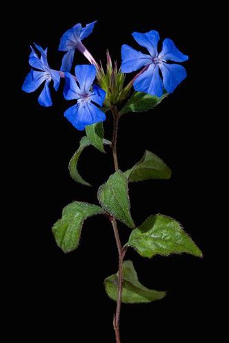 Ceratostigma willmottianum - © Raffaella Sirtoli/GAP Photos