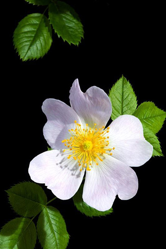 Rosa canina - Wild rose - © Raffaella Sirtoli/GAP Photos