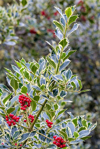 Ilex aquifolium 'Pyramidalis Aureomarginata', variegated holly - © Annie Green-Armytage/GAP Photos