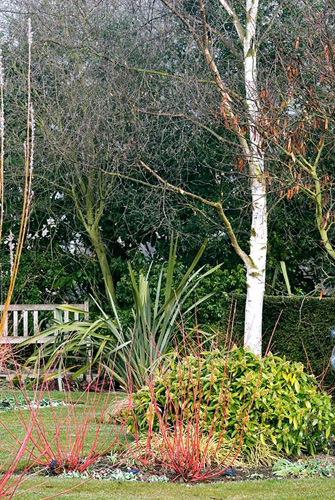 Winter border with Cornus alba 'Westonbirt', Skimmia, Betula utilis jacquemontii - Silver birch at Richard Ayres' Garden, Lode, Cambridgeshire in March - © Zara Napier/GAP Photos