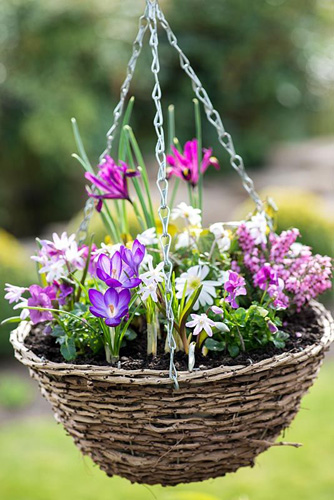March hanging basket planted with Chionodoxa forbesii 'Pink Beauty', Crocus 'Ruby Giant', Iris reticulata 'J S Dijt', Anemone blanda, Erica x darleyensis 'Bert' and violas - © Nicola Stocken/GAP Photos