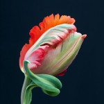 Tulipa 'Orange Favourite' - Parrot tulip