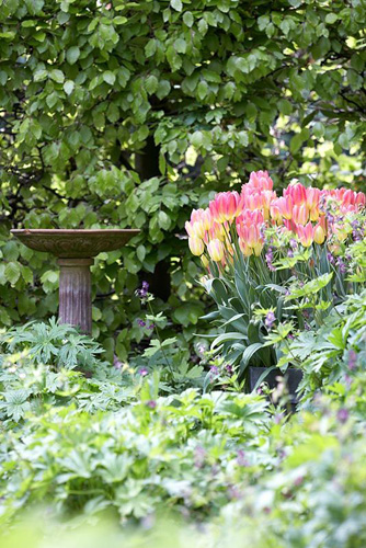 Tulipa 'Antoinette' next to stone birdbath with Fagus - Beech hedge in background - Southwood Lodge - © Matt Anker/GAP Photos