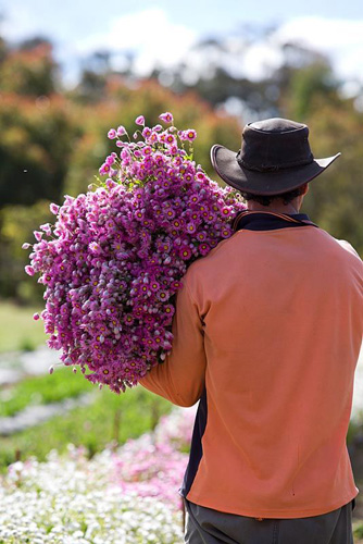 Farm worker with bunches of harvested Rhodanthe manglesii, Paper daisies, destined for the Sydney flower markets - © Brent Wilson/GAP Photos