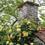 Rosa 'Maigold' climbing over rustic potting shed with chimney