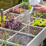 Square Foot gardening in a vegetable trug. Planting Salad Leaves 'Bright and Spicy'