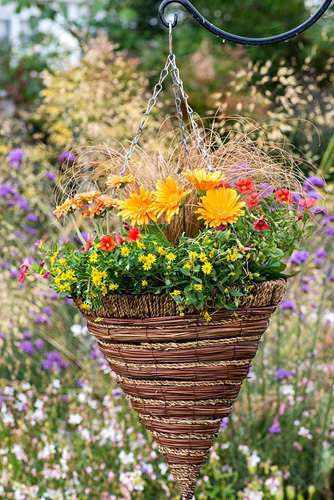 A hot summer hanging basket planted with Calibrachoa 'Million Bells Crackling Fire', Sanvitalia procumbens, Carex comans 'Bronze' and Gerbera 'Sweet Honey' and Gerbera Cartwheel Series 'Strawberry Twirl', Barberton daisy - © Nicola Stocken/GAP Photos