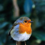 Robin on garden bench in winter