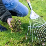 Raking moss from a garden lawn