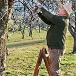Pruning apple tree branch with a saw