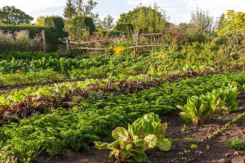 Rows of salad vegetables at Great Dixter - © John Glover/GAP Photos