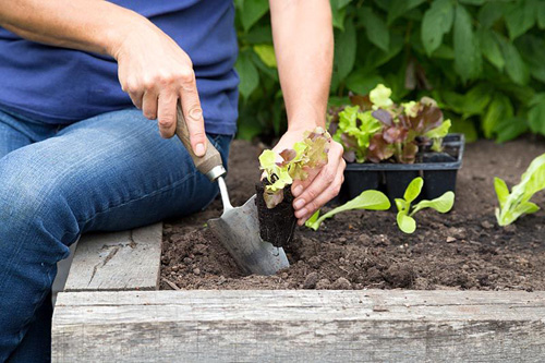Woman planting lettuce - © GAP Photos