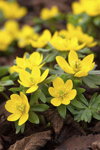 Eranthis hyemalis © GAP Photos/Jonathan Buckley