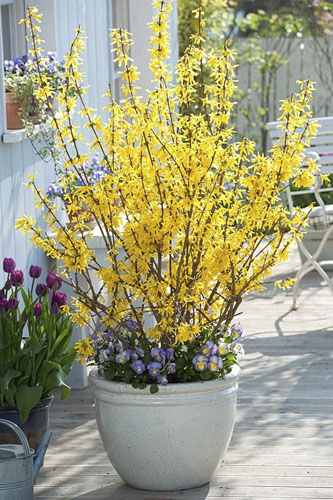 Forsythia 'Lynwood' underplanted Viola cornuta 'Etain' in white pot - © GAP Photos/Friedrich Strauss