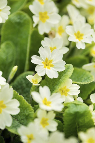 Primula vulgaris © GAP Photos/Joanna Kossak