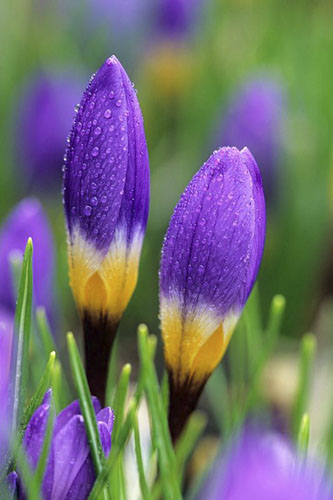 Crocus sieberi subsp. sublimis 'Tricolor' AGM - © GAP Photos/J S Sira