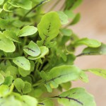 Sorrel microgreens in miniature pot
