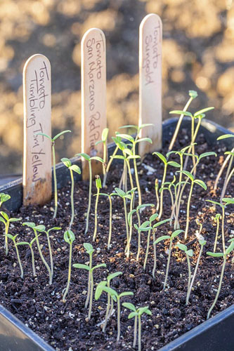 Seed tray with lines of tomato seedlings -  © GAP Photos