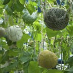 Cucumis melo - Melons with net supports growing in a Melon House