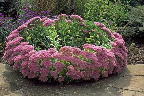 Large clump of unsupported Sedum spectabile flopping from centre - © GAP Photos/Julia Boulton
