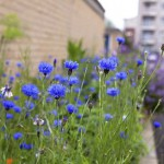Cornflowers in wildflower planting - Clapton Park Estate, London, The Poppy Estate