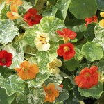 Tropaeolum majus 'Out of Africa'