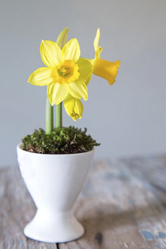 Narcissus 'Tete atete' planted in egg cup