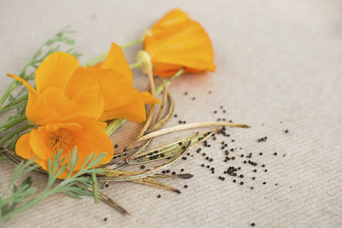 Flowers, seed heads and seeds of Eschscholzia californica - California poppy