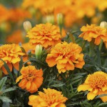 Tagetes patula 'Orange Winner'. Marigold