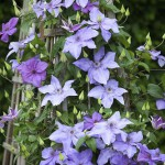Clematis Shimmer - 'Evipo028'